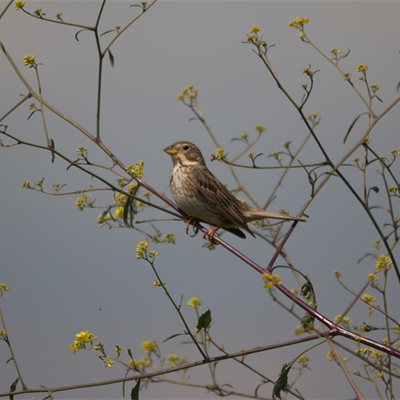 Corn Bunting - Philipp Boersch-Supan for the BTO