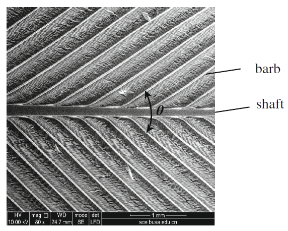 Microscopic structure of bird flight feathers